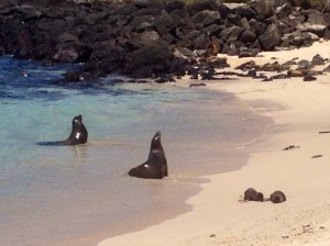 Sea lions on Playa Man